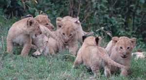 Curiosità di Firenze: la grande importanza dei leoni.